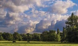 Un paesaggio del terreno coltivabile con gli alberi ed i campi di erba con le mucche Fotografia Stock