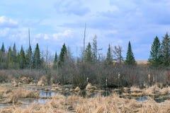 Un paesaggio dell'abetaia e della palude fotografia stock libera da diritti