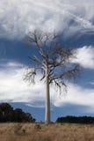 Un paesaggio rurale con l'albero guasto. L'Australia. Immagine Stock