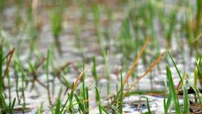Un paesaggio sommerso della foresta con la palude e gli alberi morti Inondazione della primavera nel fiume L'acqua ha scoppiato l video d archivio