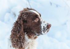 Un ?pagneul de springer anglais de race de chien de chasse pendant l'hiver dans les promenades fonctionnantes dans la neige avec  images stock