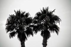 Un paio degli palma-alberi Immagine Stock