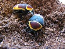 Coppie gli scarabei del sole di Pachnoda Fotografie Stock Libere da Diritti