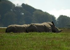Un paio dei rinoceronti di riposo Fotografia Stock Libera da Diritti