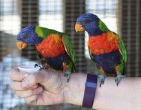 Un paio dell'arcobaleno Lorikeets su un braccio Fotografia Stock