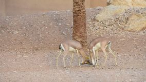 Un paio della lotta araba di marica del Gazella della gazzella della sabbia con i loro corni nelle rocce degli Emirati Arabi Unit archivi video