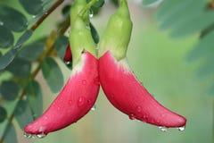 Un paio di bello Agasta rosso dopo la pioggia Immagine Stock Libera da Diritti