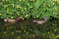 Un paio di nuoto di galericulata di Duck Aix del mandarino in una corrente, con un contesto dei fiori del celandine e delle loro  fotografia stock