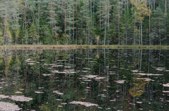 Un paisaje con las hojas del lirio de agua y de los árboles de abedul caidos Foto de archivo libre de regalías