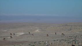 Un paisaje del desierto con el pasto de camellos metrajes