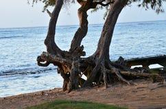 Un paisaje del océano con los árboles enredados torcidos tropicales a lo largo de la línea de la playa Fotografía de archivo libre de regalías