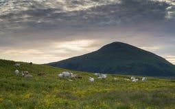 Un paisaje hermoso con el pasto de vacas Imagen de archivo