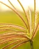 Un paisaje hermoso de la hierba del pie de cuervo florece con la iluminación de la puesta del sol Imagen de archivo libre de regalías