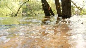 Un paisaje inundado del bosque con el pantano y los árboles muertos Inundación de la primavera en el río El agua estalló su bosqu metrajes