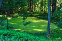 Un paisaje pintoresco del bosque con un pequeños pantano y árbol verdes Imagen de archivo libre de regalías