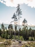 Un paisaje rural del paisaje de un bosque conífero reservado con los abetos altos y del tocón de árbol cutted en la vegetación se libre illustration