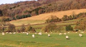 Un paisaje rural inglés con maíz de maduración Foto de archivo