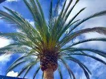 Un palmier Photographie stock