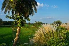 Un palmier de date, chatons et un beau ciel bleu photographie stock libre de droits