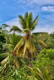 Un palmier de noix de coco avec le Roi de couleur orange lumineux Coconuts photo stock