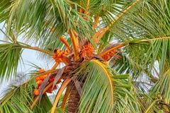 Un palmier de noix de coco avec le Roi de couleur orange lumineux Coconuts image stock
