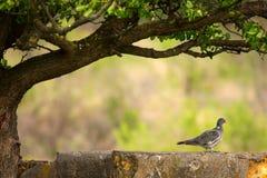 Un palumbus di Columba del colombaccio che si siede su una pietra nella tonalità di un albero Immagine Stock Libera da Diritti