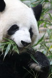 Un panda Photographie stock