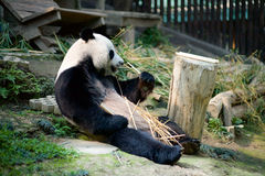 Un panda dans le zoo Image stock