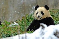 Un panda de bébé mange le bambou dans le bifengxia Photographie stock