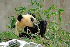 Un panda de bébé mange le bambou dans le bifengxia Image stock