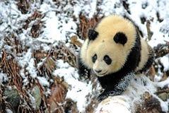 Un panda de bébé marche sur le champ de neige dans le bifengxia Image libre de droits