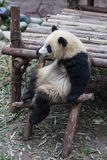 Un panda di seduta Fotografie Stock Libere da Diritti