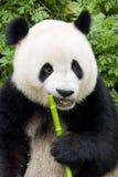 Un panda géant Photo stock