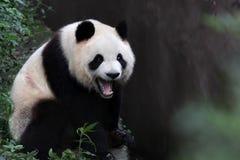 Un panda gigante Fotografie Stock Libere da Diritti