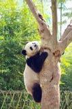 Un panda grimpant à l'arbre Images libres de droits