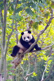 Un panda grimpant à l'arbre Photo stock