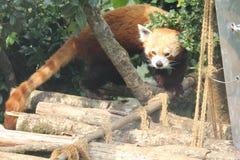 Un panda minore Immagini Stock Libere da Diritti
