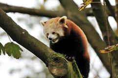 Un panda rosso Fotografia Stock Libera da Diritti