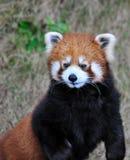 Un panda rouge Photographie stock libre de droits