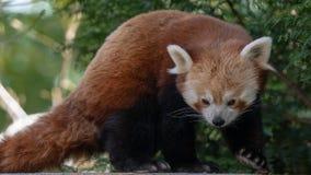 Un panda rouge se déplace à une nouvelle position avantageuse pour s'assurer qu'il est sûr de se reposer après consommation photos libres de droits