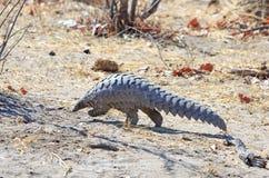 Un pangolino africano raro avvistato nel parco nazionale di Hwange fotografie stock