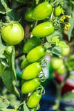 Un panical de tomates verdes crudos Foto de archivo