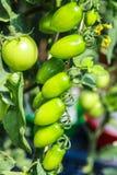 Un panical dei pomodori verdi crudi Fotografia Stock