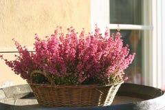 Un panier de bruyère de floraison Photographie stock libre de droits