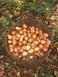 Un panier des oignons. Image libre de droits