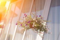Un panier extérieur a rempli de pétunias roses vibrants Images stock