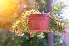 Un panier extérieur a rempli de pétunias roses vibrants Photographie stock libre de droits