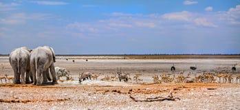 Un panorama de elefantes en la cacerola de Etosha con las porciones de diversos animales Imagen de archivo
