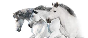 Un panorama di tre cavalli bianchi per il web fotografia stock