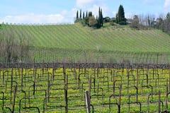 Un panorama hermoso de un viñedo cubierto con las flores amarillas de Tarassaco, en Conegliano, Véneto, Italia, fotografía de archivo libre de regalías